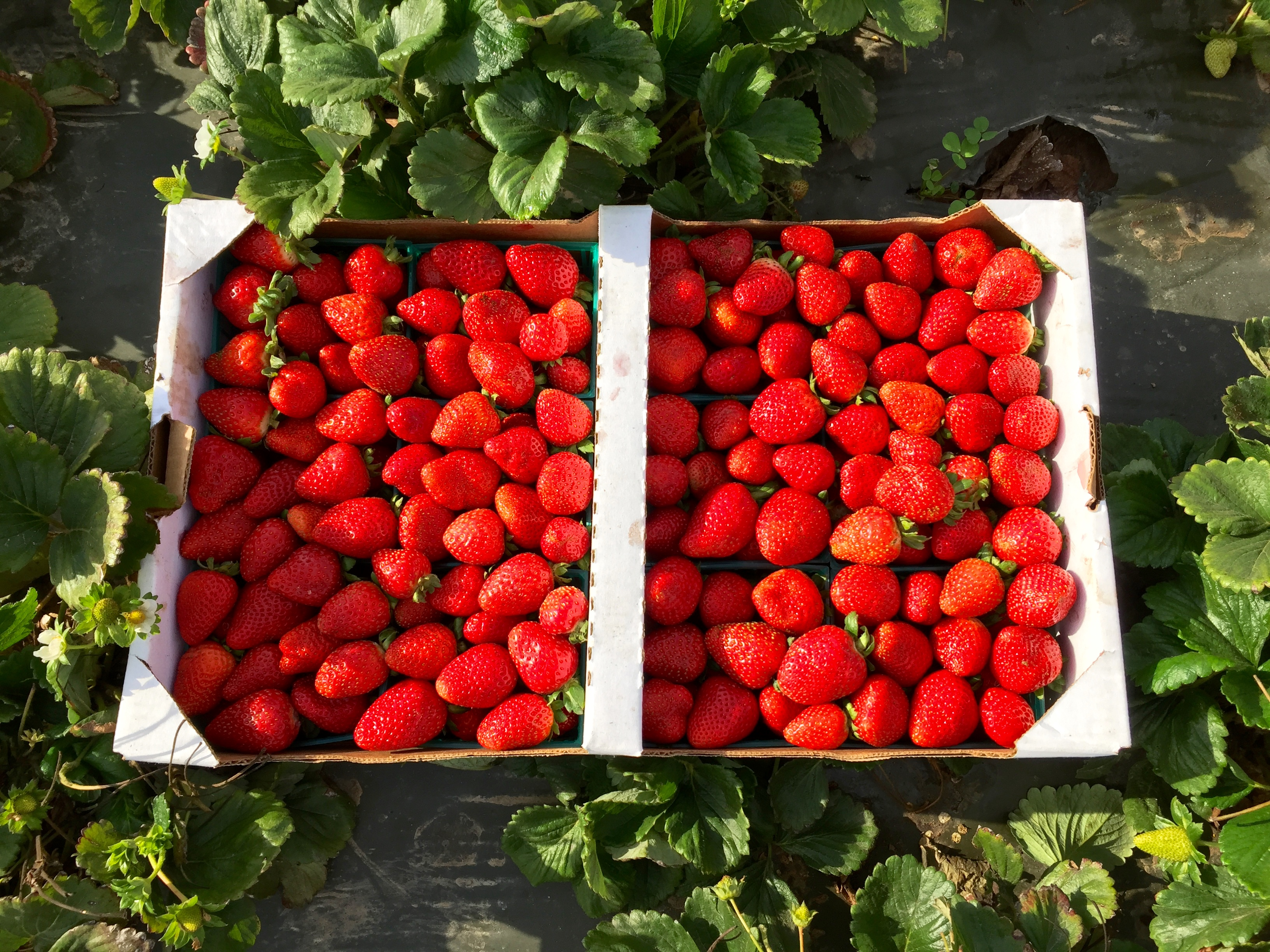 <p>Strawberries picked in Salinas.</p>
